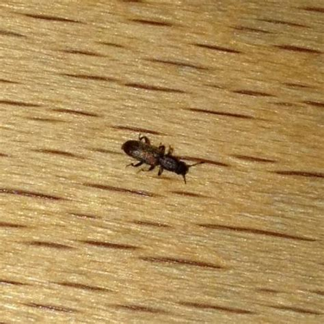 insectes dans la cuisine silvanidae insecte de taille pr 233 sent dans une