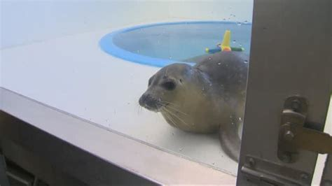 mp rehab rescued seal named megatron recovers at national aquarium