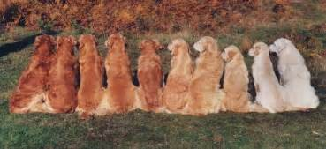 golden retriever colors is color preferred page 2 golden retrievers