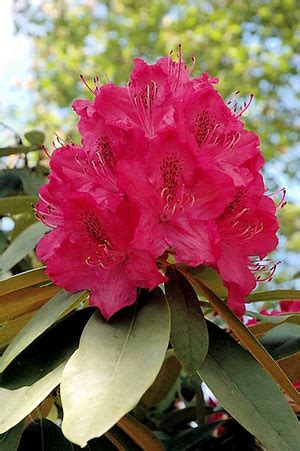 april fertilizer brings happy may azaleas and rhodies the seattle times