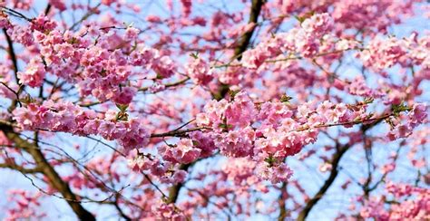 b q cherry tree flowering cherry trees for mediterranean climates pat organic and southern california