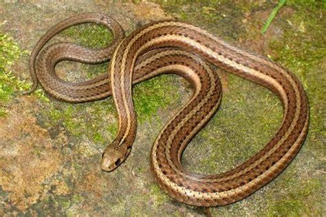 Garden Snake Pa Pa Herp Identification 187 Shorthead Gartersnake