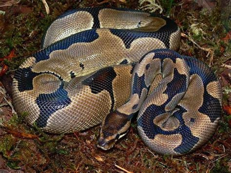 reduced pattern pastel ball python super reduced pattern morph list world of ball pythons
