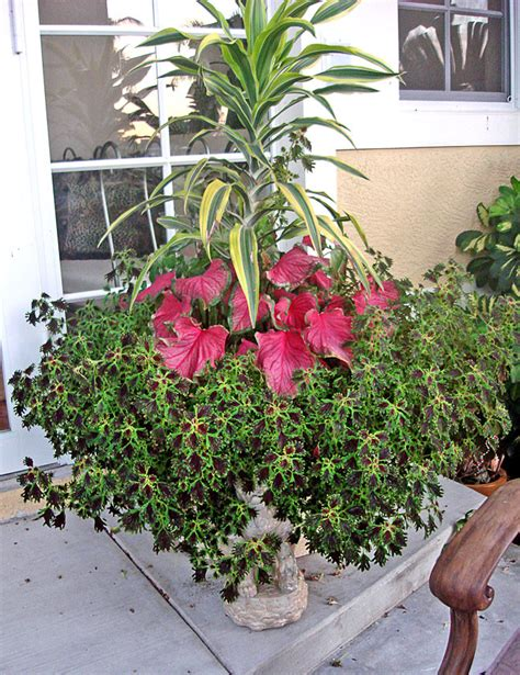 container gardening florida aroid paradise cubit article the new caladium frontier