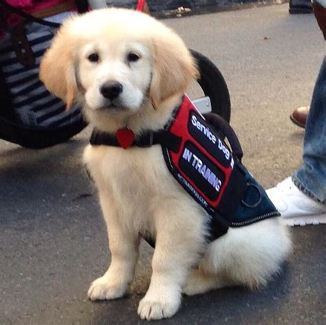 service dogs california california to allow therapy and facility dogs during witness testimony westsidetoday