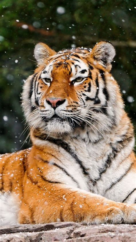 snow tiger  htc  wallpapers   easy