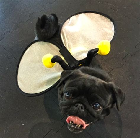 pug bee costume photos from the best just for pugs talent hounds