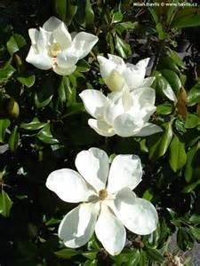 Zone For Gardening - magnolia grandiflora praecox goliath havlis cz