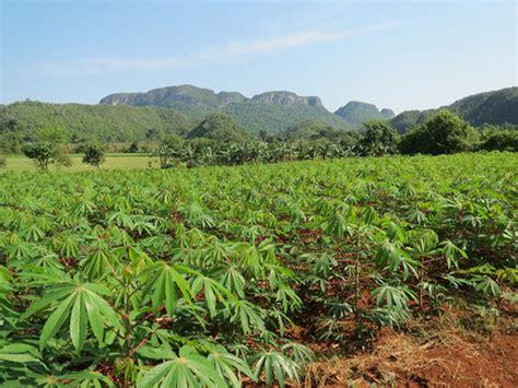 Plantation De Manioc by Comment R 233 Ussir La Culture Du Manioc