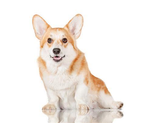 corgi puppy information pembroke corgi dogs breed information omlet