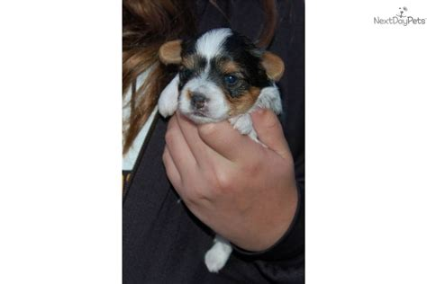 parti yorkies for sale near me terrier yorkie puppy for sale near springfield missouri 556257e9 ef51