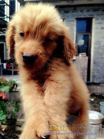Boneka Anjing Golden Quality dunia anjing jual anjing golden retriever anakkan golden retriever quality quot quot
