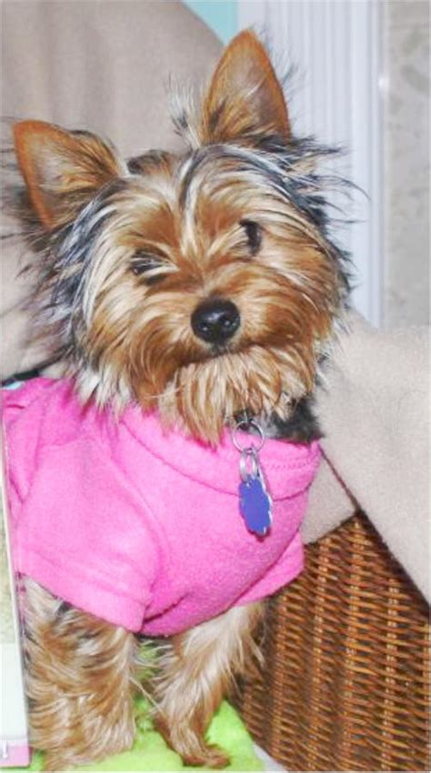 yorkie breeds types yorkie types different types different yorkies types