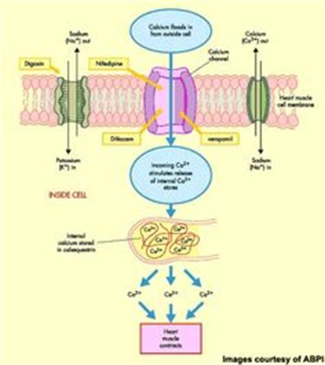 Calcium Channel Blockers Also Search For 1000 Ideas About Calcium Channel Blocker On Pharmacology Beta Blockers