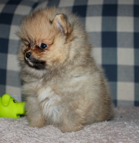pomeranian puppies washington s precious poms pomeranian breeder roy washington