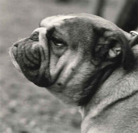 testa in inglese testa e cranio bulldog inglese