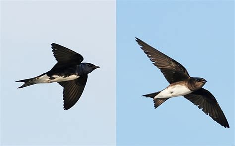 help us survey caribbean martins ebird