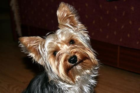 perro yorkie precio sobre la raza de perros terrier