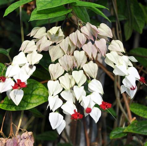 Tanaman Hias Violces And White tanaman white bleeding vine jual tanaman hias