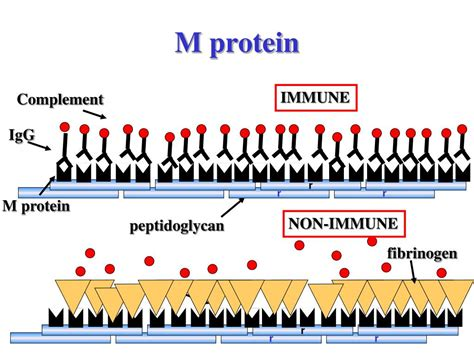 m protein test ppt streptococci gram positive cocci lecture 45