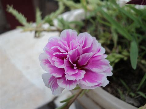 file pink flower small jpg wikimedia commons