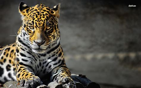 jaguar wallpapers hd wallpapers pulse