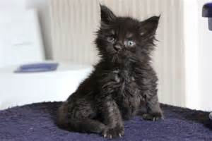 Years ago for sale cats maine coon dumbarton