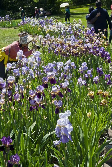 Presby Iris Garden by Presby Iris Gardens Blooming Season The Montclair Dispatch