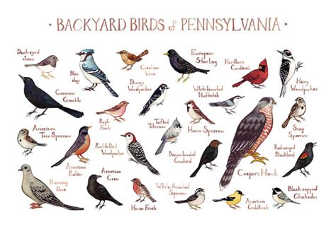 pennsylvania backyard birds field guide art print watercolor