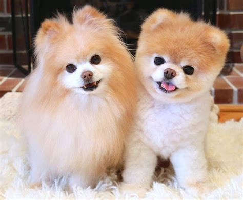 pomeranian boo price boo price pomeranian boo price how much does a boo cost