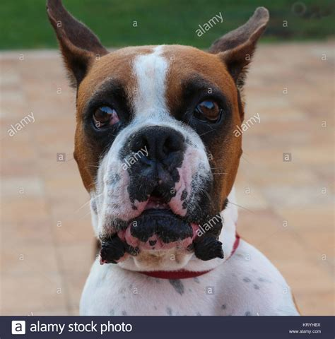 angry barking angry attacking stock photos angry attacking stock images alamy