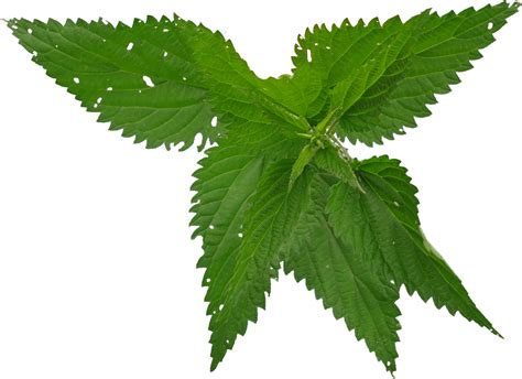 nettle images nettle png images free