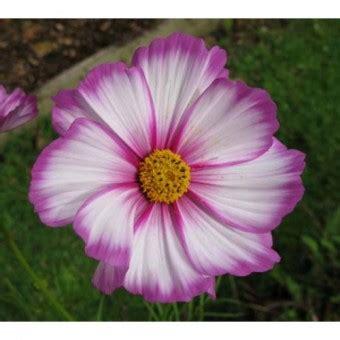 Bibit Bunga Cosmos Mix bibit bunga cosmos bibitbunga