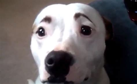 with eyebrows dogs with eyebrows is the best thing things