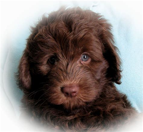 puppy for puppies breeds puppies puppy