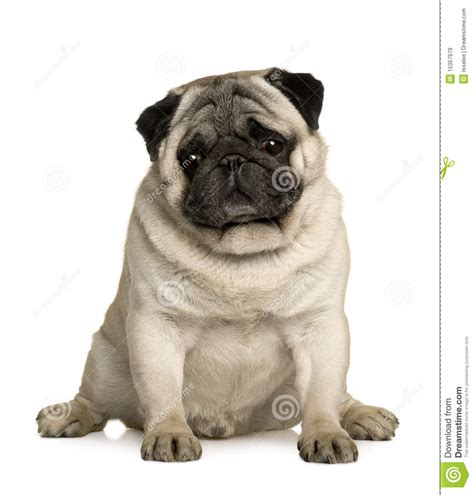4 year pug pug 4 years sitting royalty free stock images image 15357979