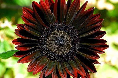 gorgeous dark red sunflower i like pinterest