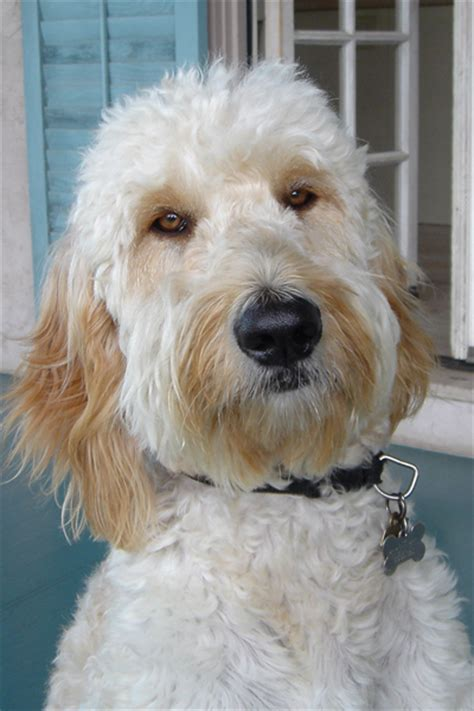 goldendoodle puppy phases goldendoodle pictures by age www proteckmachinery
