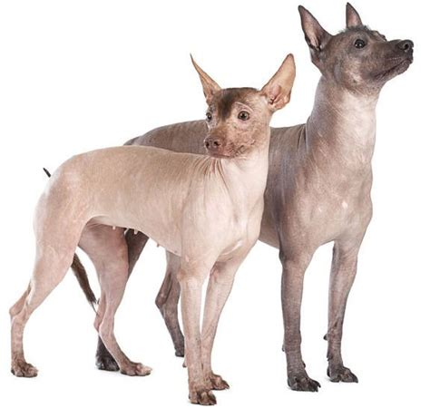 mexican dogs 5 things to about the xoloitzcuintli petful