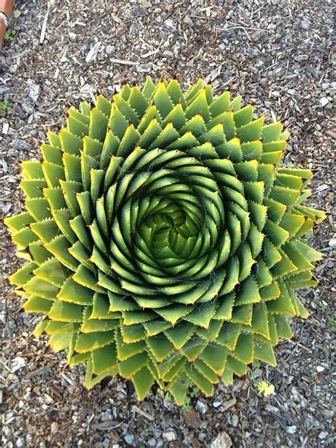 1000 images about logarithmic on pinterest nature golden ratio and ferns