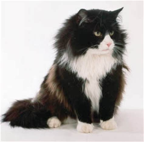 Cooinda Cat Resort   Kitty Kapers: Cat Breeds: Norwegian