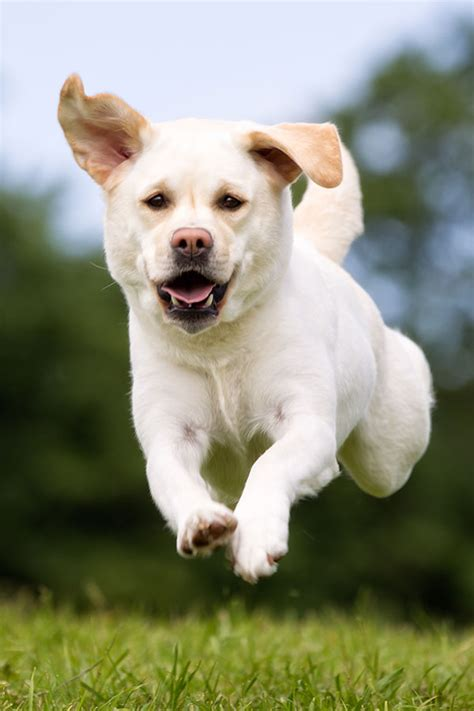 white labrador white labradors
