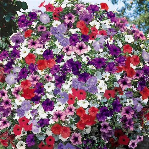 surfinia fiore petunie e surfinie piante annuali caratteristiche di
