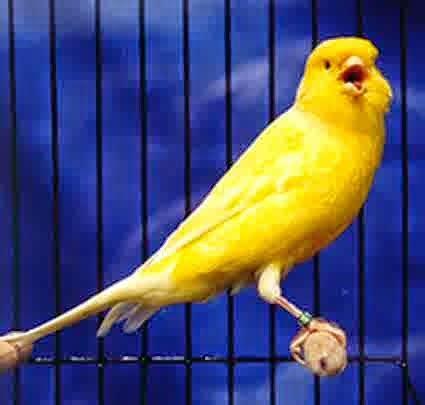 Pakan Lolohan Untuk Cendet om hoby tips mengurangi burung kenari yang berlebihan