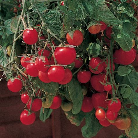 Benih Tomat Garden Pearl Paketan best tomato varieties my top tasty tomato picks