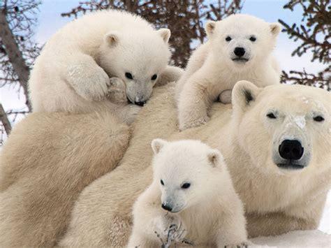 polar bear family portraits wallpaperscom