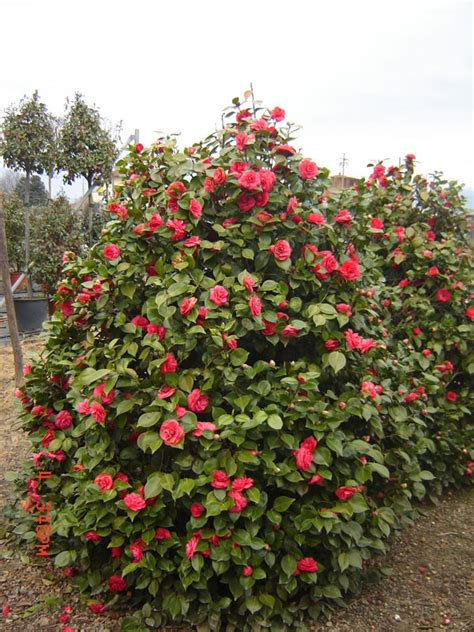camelia sasanqua in vaso camellia japonica sasanqua