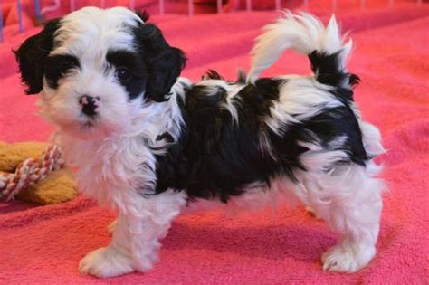 havanese rescue san diego chocolate havanese puppy chocolate havanese puppy for sale chocolate havanese