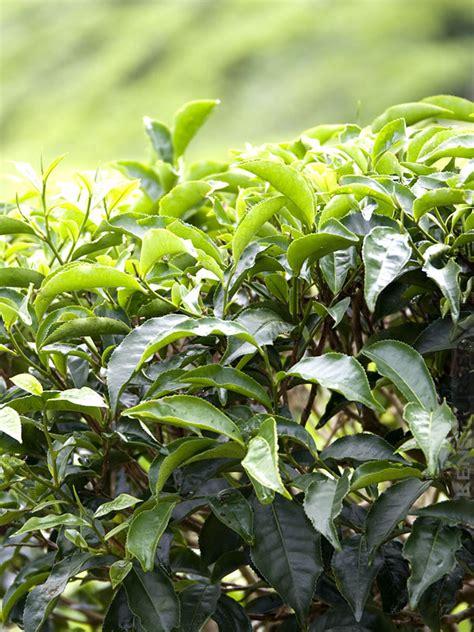 Hilo Green Tea real green tea plant camellia sinensis kens nursery