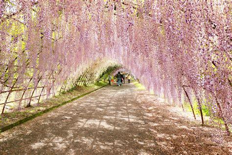 wisteria tunnels tokyo wisteria tunnel kawachi fuji garden kitakyushu